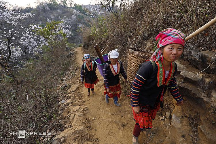 HMong women walk on narrow and dangerous mountainous roads surrounded by Bauhinia flowers to go to their fields. Dien Bien Province, around 500 kilometers to the west of Hanoi, is still a lesser-known destination on Vietnam's tourism map.Dien Bien is home to the Dien Bien Phu battle which raged for 56 days before Vietnams victory that would spell the end of Frances colonial rule in Indochina and pave the way for Vietnams independence.