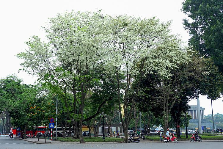 White sua trees stand quietly at a street corner in front of the Ministry of Foreign Affairs headquarters, at the beginning of Ton That Dam Street in Ba Dinh district near the Ho Chi Minh Mausoleum. Hanoi is always beautiful at any time of the year, but I prefer the transcedent season when the white sua trees shed their leaves and started blooming white, said photographer Giang Trinh, a Hanoian.