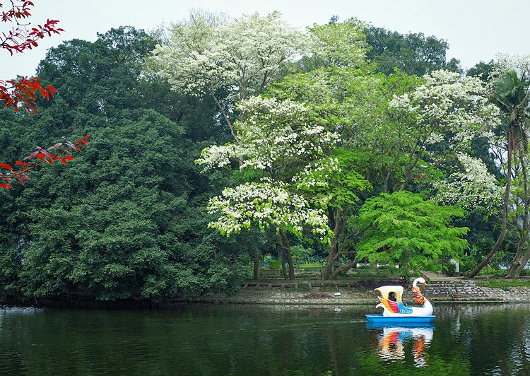 Sua flowers add the colors for the Bay Mau freshwater lake area in Thong Nhat Park in Hai Ba Trung District.