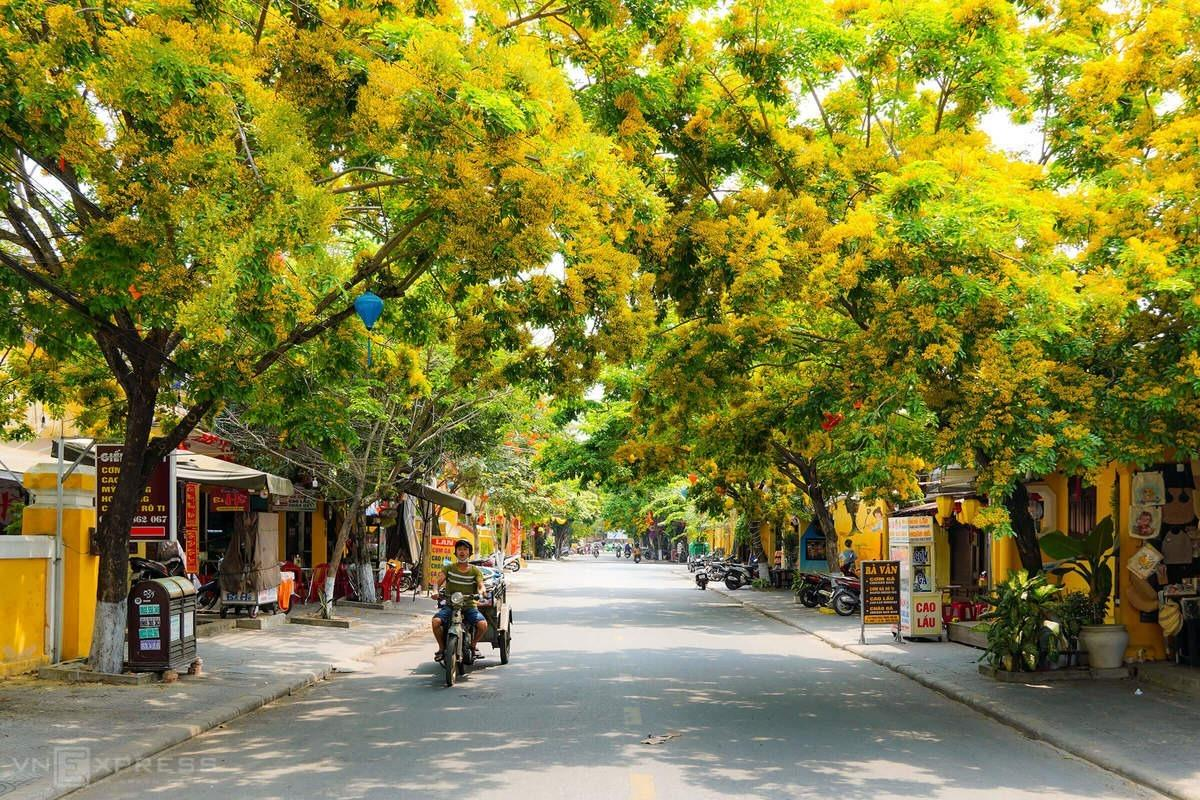 Along both sides of Phan Chu Trinh Street in Hoi An is covered with the yellow color of sua flowers. Sua was a wild tree in Quang Nam Province, home to the 400-year-old ancient town, which is a popular tourist destination on global tourism map, before locals started growing it for firewood in rural areas.