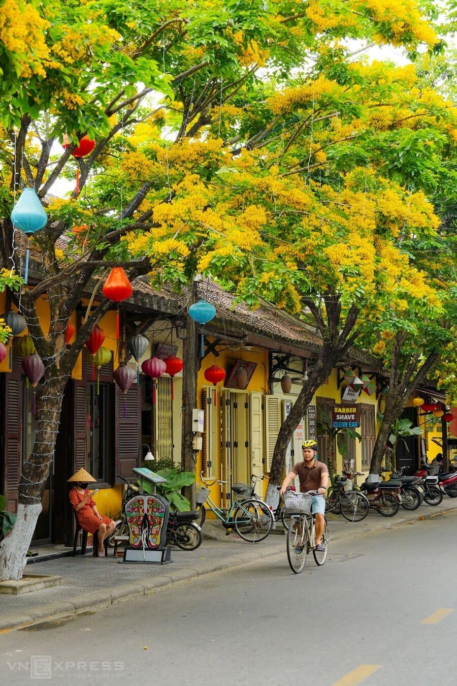 A man rents a bicycle and rides under the shades of sua flowers.Hoi An has been a pioneer in the country since 2004 for ensuring pedestrian-friendly streets. Motorbikes and cars are banned from the town center for large parts of the day – from 9 a.m. to 11 a.m. and from 3 p.m. to 9:30 p.m., making bicycles the most ideal choice for foreigners to explore the town.  In Hoi An, most hotels, restaurants and homestay facilities offer bike rental services.