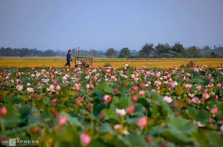People in La Chu village, Huong Chu Commune grow lotus on rice fields. This is one of the places to watch the beautiful lotus season in the suburban area of Hue.